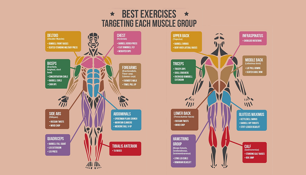 best exercises targeting each muscle group | fitness workouts, Muscles
