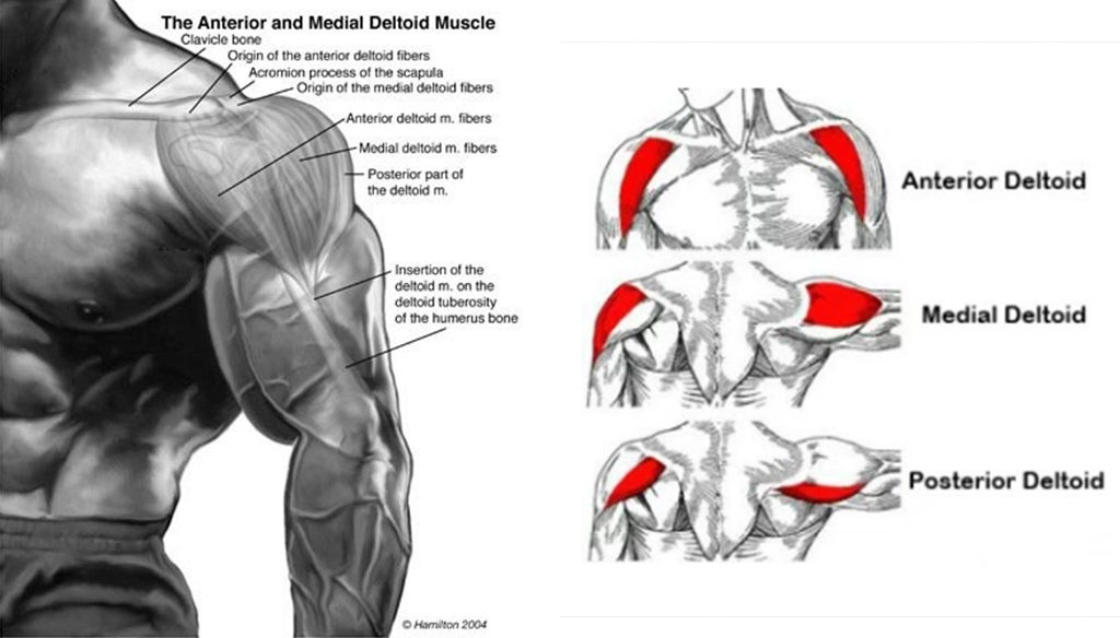 All About Deltoid Anatomy Fitness Workouts Exercises