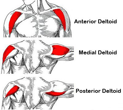 Deltoid's Anatomy