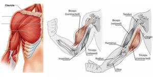 7 Reasons Why Your Muscles Stop Growing – How to Get Muscles to Grow Again