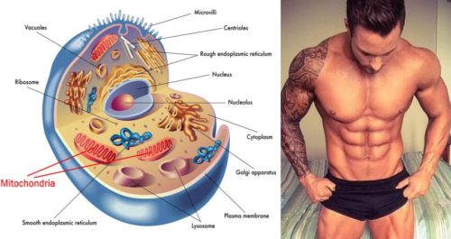 How to Burn Fat More Efficiently by Increasing Your Mitochondrial Density