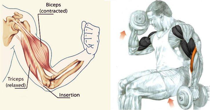 Biceps Curl Anatomy Fitness Workouts Exercises